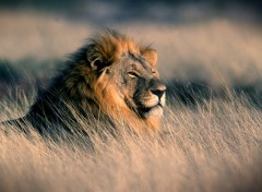 Wallpapers Animals Lion