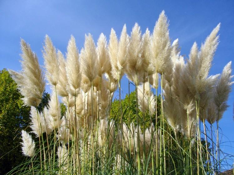 Fonds d'écran Nature Plantes - Arbustes herbe de la pampa