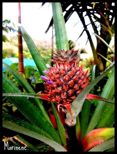 Fonds d'écran Nature Fruits ananas