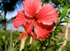 Wallpapers Nature Fleur d'hibiscus