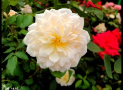 Wallpapers Nature Rose blanche