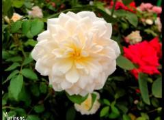 Fonds d'écran Nature Rose blanche