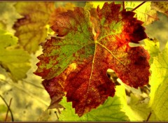 Fonds d'écran Nature Automne dans la vigne 2