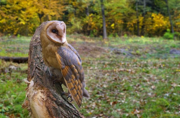 Fonds d'écran Animaux Oiseaux - Hiboux et Chouettes Húúú