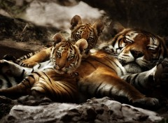 Wallpapers Animals Jeunes Tigres et un Parent