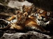 Wallpapers Animals Jeunes Tigres et un Parent
