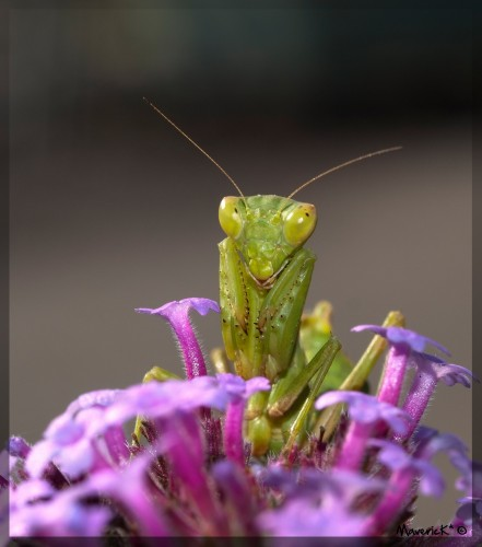 Wallpapers Animals Insects - Mantis Mante religieuse