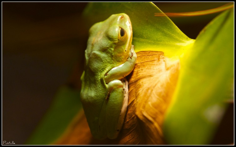 Wallpapers Animals Frogs - Toads Prince Charmant?