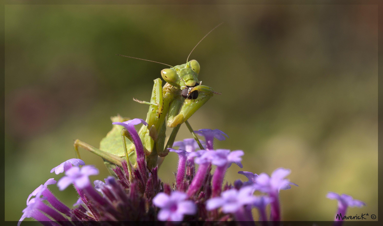 Fonds d'écran Animaux Insectes - Mantes religieuses Sandwich à la mouche