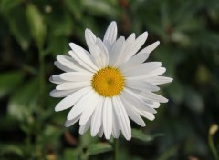 Wallpapers Nature Incroyable ... Une margueritte un 14 novembre !!!