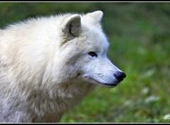 Fonds d'écran Animaux Loup blanc