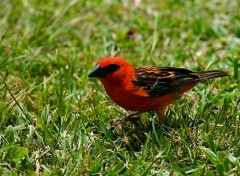 Wallpapers Animals Cardinal...