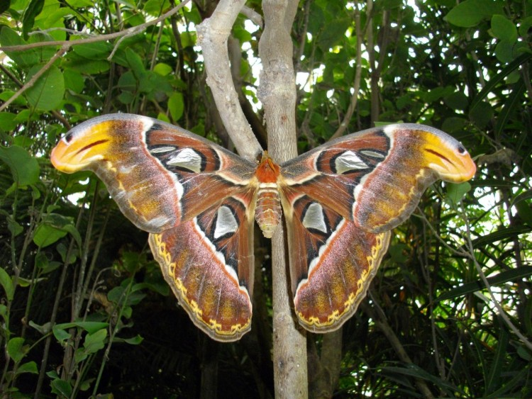 Wallpapers Animals Insects - Butterflies gros papillon