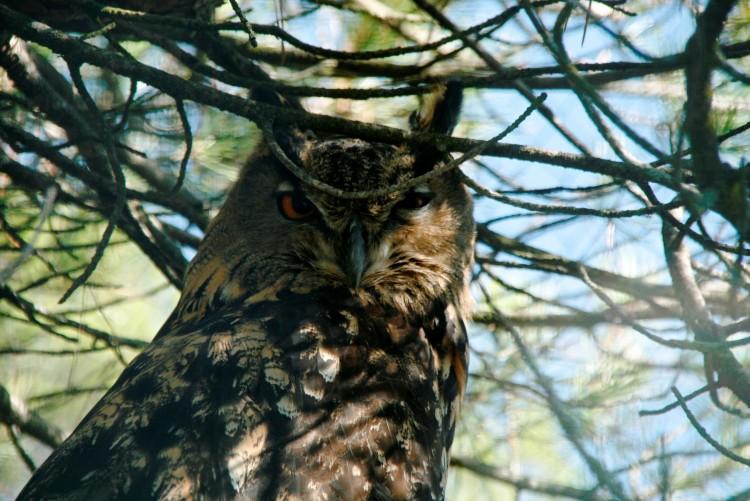 Wallpapers Animals Birds - Owls Clin d'oeil