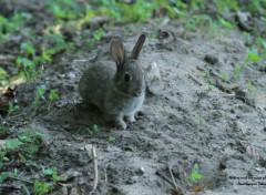 Fonds d'écran Animaux Lapinou le lapin de Garenne