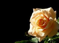 Wallpapers Nature Rose Jaune