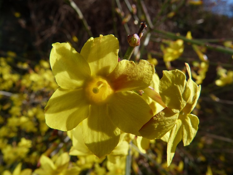 Fonds d'écran Nature Fleurs Jasmin d'hiver