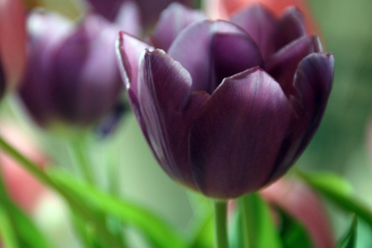 Wallpapers Nature Flowers Tulipe