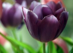 Wallpapers Nature Tulipe