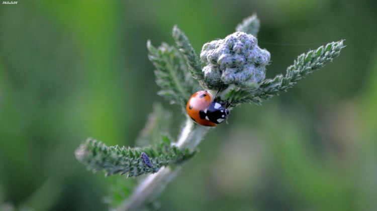 Wallpapers Animals Insects - Ladybugs Wallpaper N°292203