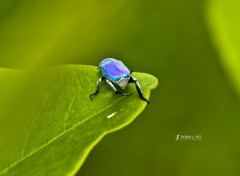 Animaux Scarabées Bleu