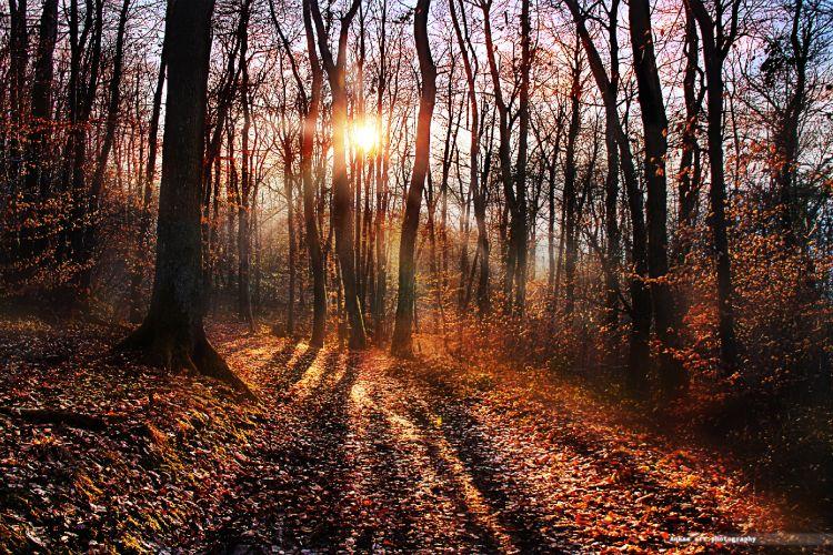 Fonds d'écran Nature Arbres - Forêts Le mystère des forêts d'ambre