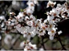 Nature le printemps de l'amandier