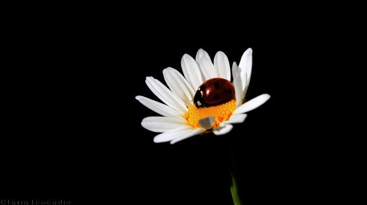 Fonds d'écran Animaux Insectes - Coccinelles Coccinelle