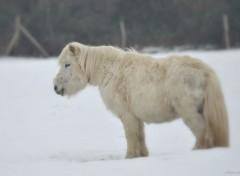 Animaux Poney dans la neige
