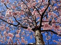Nature Arbre en fleurs au printemps