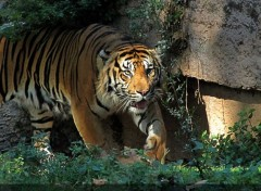 Animals Tigre
