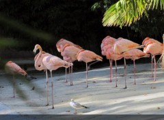 Animaux Flamand rose