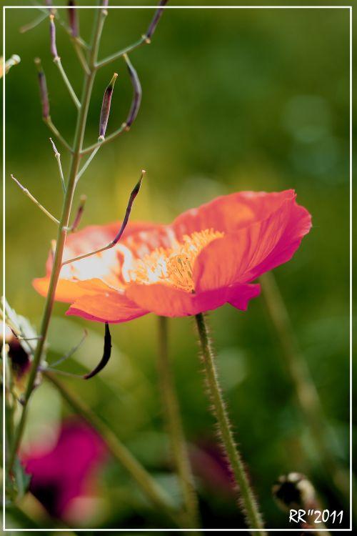 Fonds d'écran Nature Fleurs Wallpaper N°295648