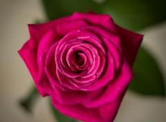Nature Une rose rose...