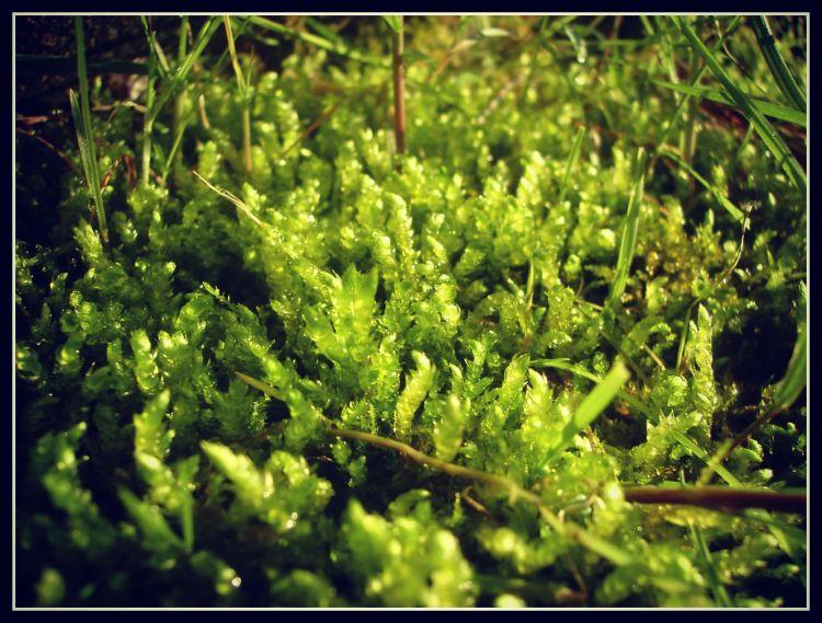 Fonds d'écran Nature Mousses - Lichens mousse