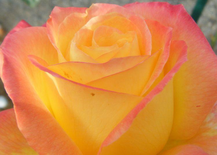 Wallpapers Nature Flowers Rose bicolore