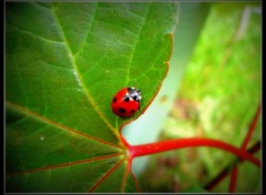 Animaux coccinelle