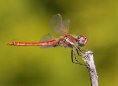 Animals Libellule rouge sur un brin d'herbe sec