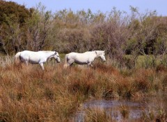 Animals Chevaux en Camargue...