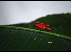 Animals Grenouille rouge