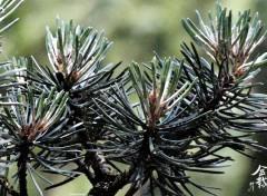 Nature Bonsaï - Pinus