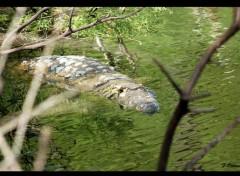 Animaux Crocodile
