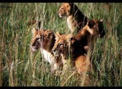 Animaux Les Lions