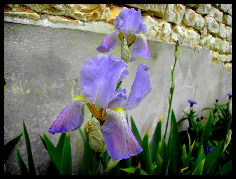 Fonds d'écran Nature Fleurs iris