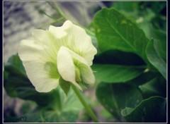 Nature Petit pois en fleurs