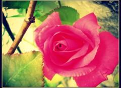 Nature premiere rose