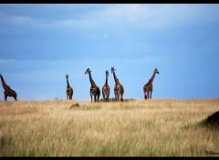 Animaux Girafes !