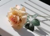 Nature rose
