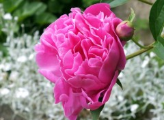 Nature Pivoine rose