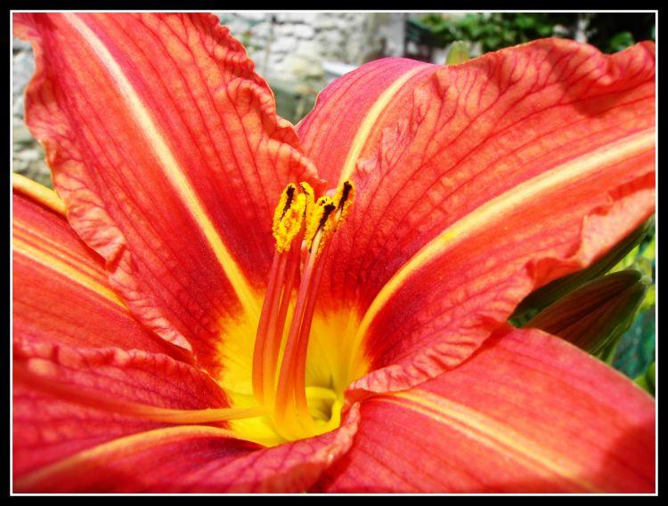 Fonds d'écran Nature Fleurs Lys